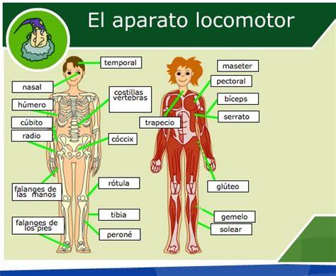 dibujo del aparato humano el aparato locomotor humano recurso educativo 35658