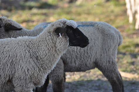 Types Of Hair Sheep by Sheep Breeds And Taste