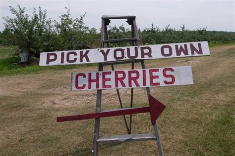 Cherry Picking In Door County by Check Out Cherry Season In Wisconsin Realfoodtraveler