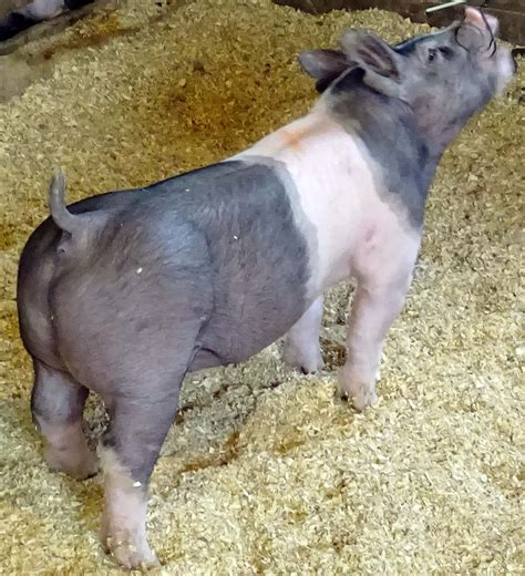 show pugs for sale show pigs for sale january 2015 land of promise farms