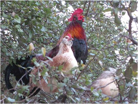 chicken s coming home to roost backyard chickens community