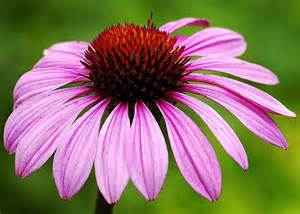 ed goodfellow web images flowers cone flower