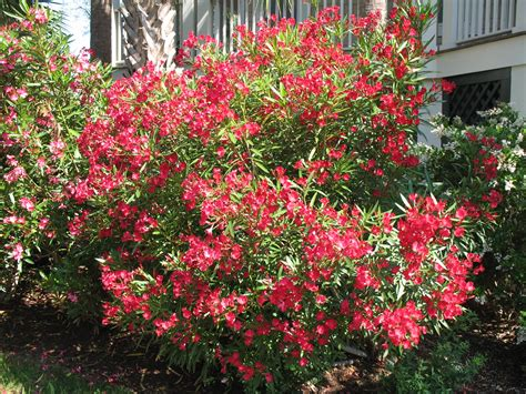 oleander plant planting oleander tree go search for tips tricks cheats search at search