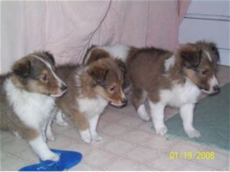 sheltie puppies for sale in ohio shetland sheepdog puppies for sale