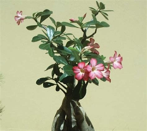 Bibit Bunga Kamboja Jepang cara merawat bunga kamboja jepang tanaman hias bunga
