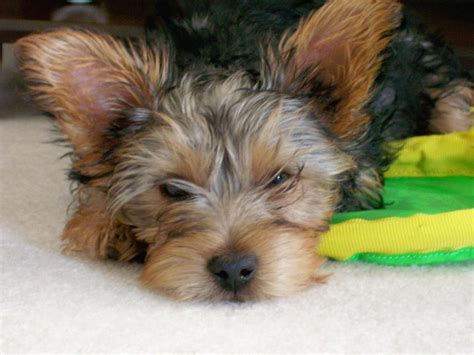 looking for yorkie puppies tired looking yorkie puppy jpg hi res 720p hd