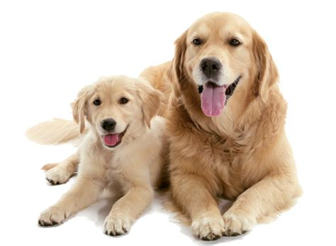 how to raise a puppy when you work puppy or an
