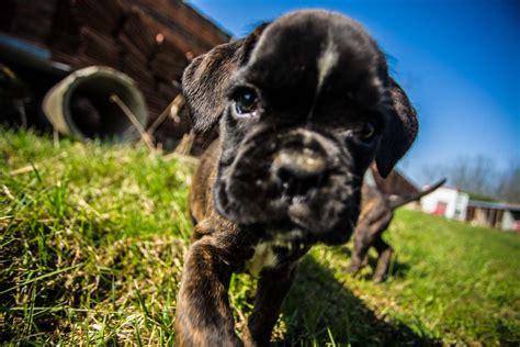 alimentazione cucciolo boxer boxer cuccioli pronto a vivere un esperienza fantastica