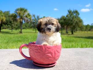 teddy puppies for sale in florida teddy puppies for sale in florida teddy breeder ta south fl