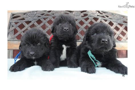 puppies for sale in binghamton ny newfoundland puppy for sale near binghamton new york 6bc52e9d dae1