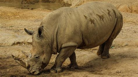 Can Animals Cure Us No 3 last attempt at saving northern white rhinos from extinction sees ivf treatment
