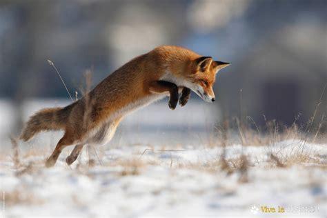 le renard dans l ile expo renards aspas association pour la protection des animaux sauvages