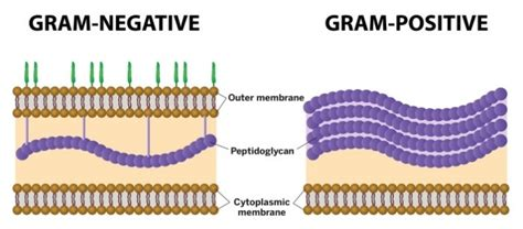 what color does gram positive bacteria stain illustration of the membranes of gram negative and gram