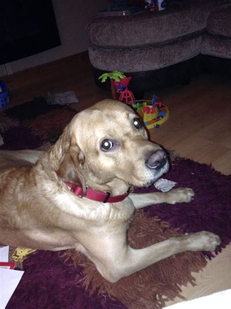 golden retriever puppies for sale in hshire for sale lovely golden retriever chester cheshire pets4homes