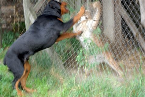 wolf vs rottweiler animal vs animal pictorial