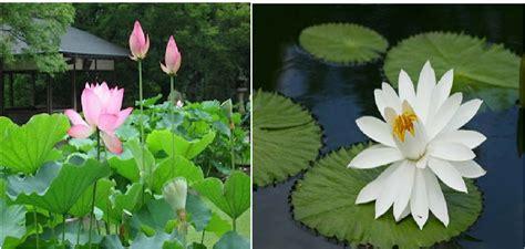 bunga lotus media belajarku