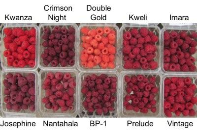 raspberry color definition of raspberry color by the 2017 fall fruiting raspberry varieties reviewed fruit
