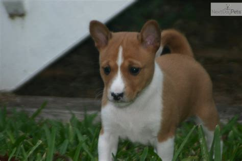 basenji puppies for sale near me basenji for sale breeds picture