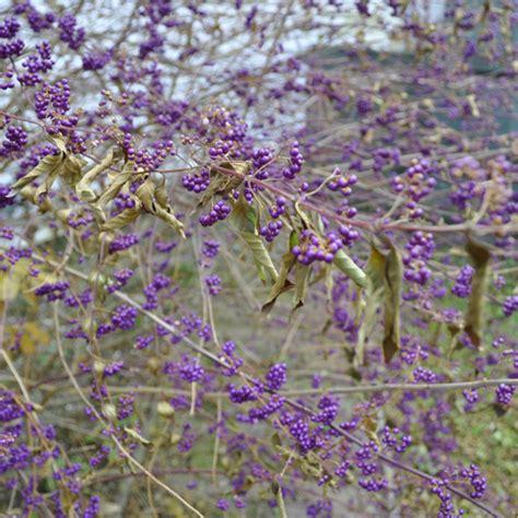 purple berry bush identification www imgkid com the