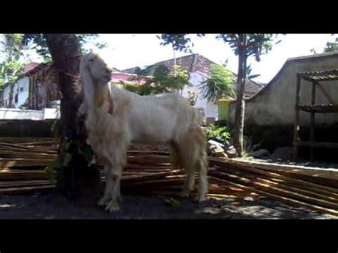Kambing Etawa Why kambing etawa senduro jantan 2 mp4