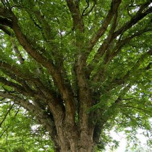 Tree Canopy Tree Canopy By Alan Pickersgill