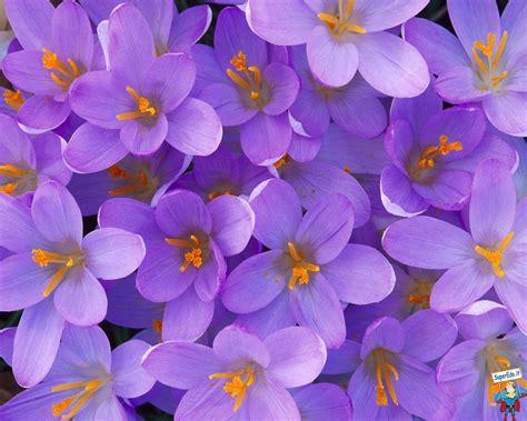 violette fiore immagini violette 29 immagini in alta definizione hd