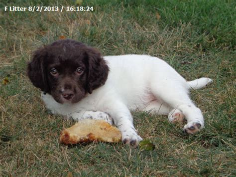 small munsterlander puppies for sale pin find small munsterlander puppies for sale from gun breeders who on