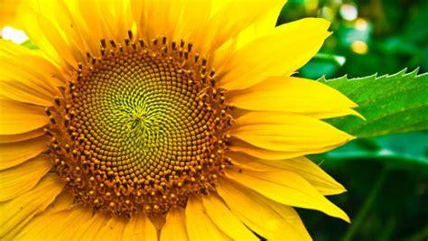 desain bunga matahari corak wallpaper yang menarik joy studio design gallery