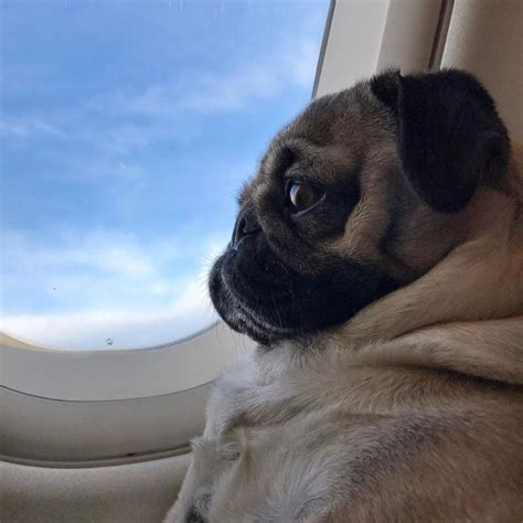 pugs on planes 4738 best images about p u g l o v e on