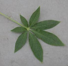 spider flower umass amherst greenhouse crops