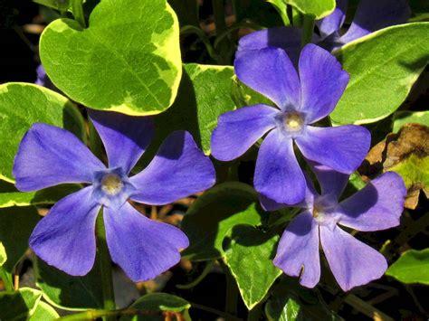 fiore pervinca la rondine dei fiori la pervinca impronta unika