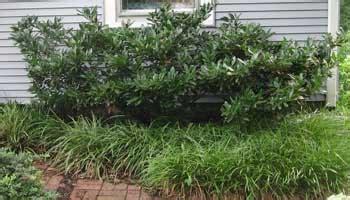 time to prune cherry laurels azaleas too homestead gardens inc homestead gardens inc