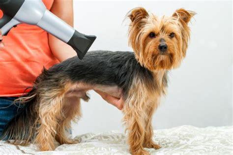 corte pelo yorkshire terrier cuidados del pelo del yorkshire terrier