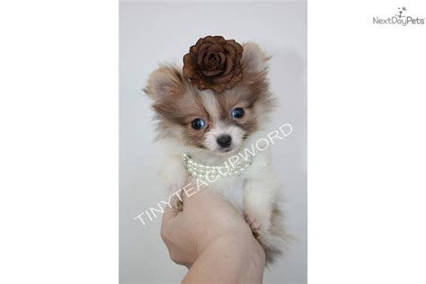 tiniest tiny micro teacup pomeranian puppy the gallery for gt husky and pomeranian mix grown