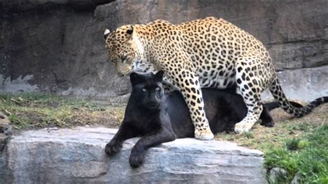 apareamiento animales leopardos comportamiento sexual y rituales de