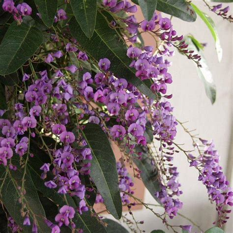 lilac climbing plant san marcos growers gt products gt plants gt another image