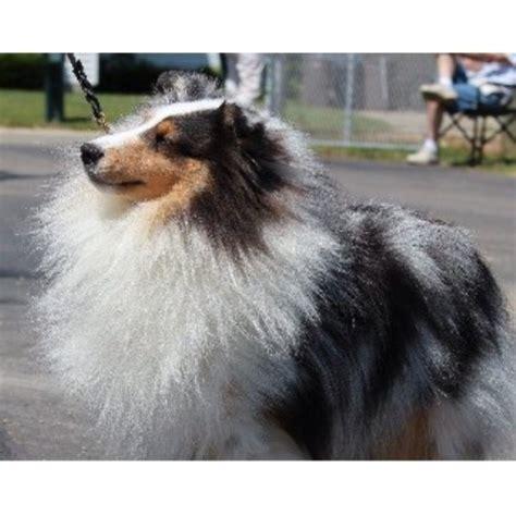 puppy trenton mi leigh hi shetland sheepdogs shetland sheepdog stud in trenton michigan