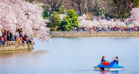 cherry blossom festival cherry blossom festival washington dc life style by