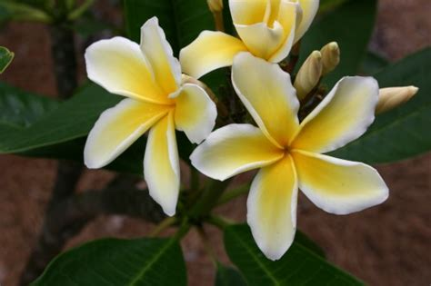 plumeria care plumeria care 171 walter reeves the georgia gardener