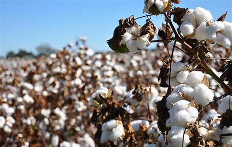 best cotton china china s xinjiang to reduce area under cotton