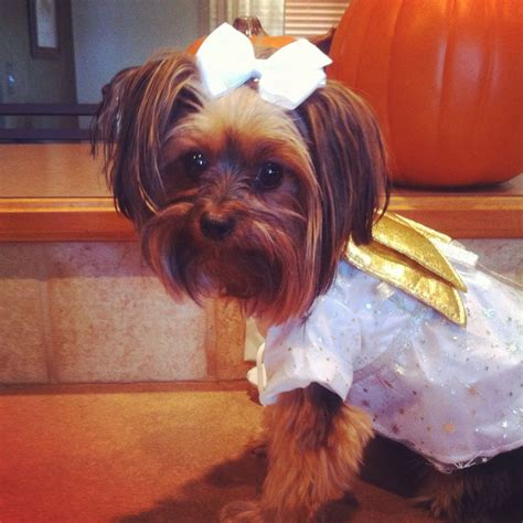 yorkies in costumes 76 best images about yorkies in costumes on yorkie matador costume and pets