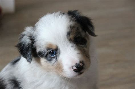 undocked australian shepherd puppies for sale 101 best miniature australian shepherd puppies images on aussie dogs dogs