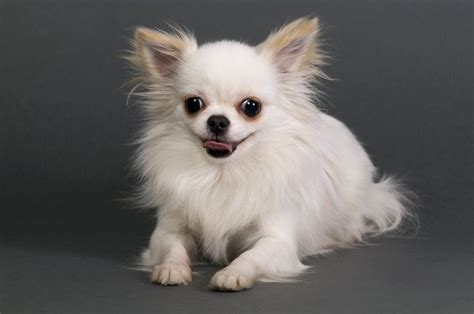 long hair chihuahua hair growth what to expect hair chihuahua hair growth what to expect 25 best ideas