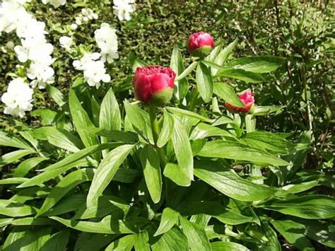 peonies how to plant grow and care for peony plants