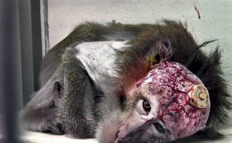 vivi section vivisection another reason to go vegan for animals