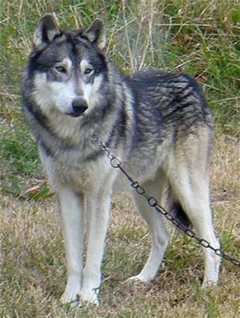 malamute wolf hybrid puppies wolamute malamute x wolf hybrid pets i want wolves friends and