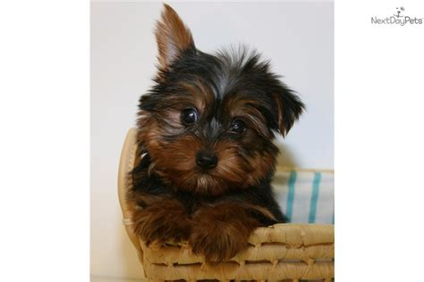 dead yorkie meet vinny a terrier yorkie puppy for sale for 595 teacup our