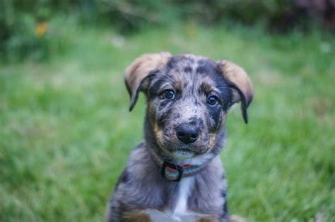 catahoula mix puppies blue heeler catahoula mix dogs breeds picture