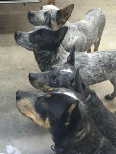 blue heelers s01e01 a womans place miniature blue heeler puppies for sale baby animals
