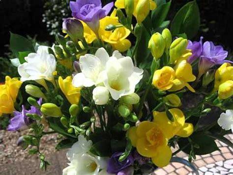fresie fiori le fresie